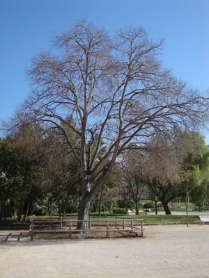 Lledoner de la Quinta de Sant Rafael