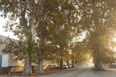 Plàtans a l'antiga carretera de València