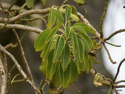 Cau un arbre de l'espècie Bellaombra a la plaça Imperial Tarraco
