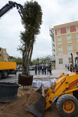 Planten una alzina en substitució de la mèlia centenària que la ventada es va endur al Passeig de Sant Antoni