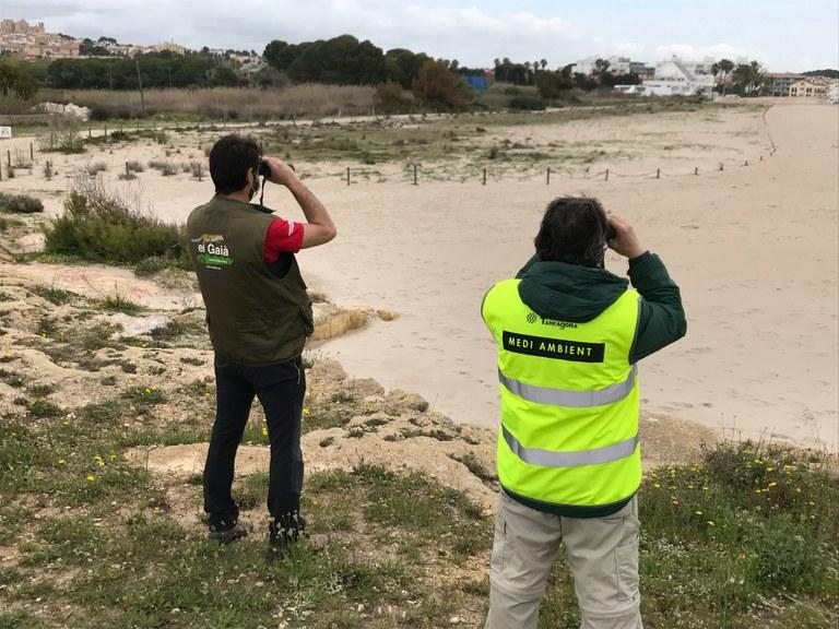 El corriol camanegre nidifica per segon any consecutiu a les platges de Tarragona