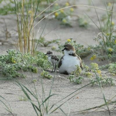 Han nascut tres pollets de corriol camanegre a la platja de Tamarit