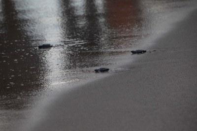 Els tècnics alliberen sis tortugues al Miracle