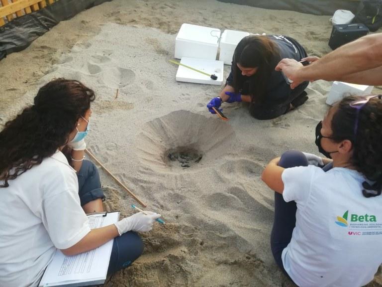 Un total de 71 tortugues han nascut a la platja del Miracle