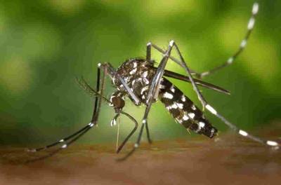 Detall ampliat de mosquit tigre