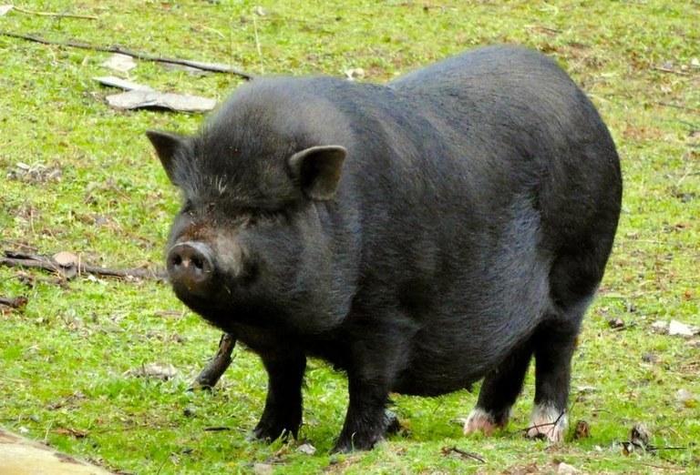 Avui s'ha posat en marxa l'operatiu per capturar i controlar els porcs vietnamites
