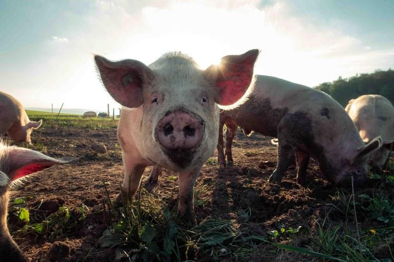 Prevenció de la pesta porcina africana