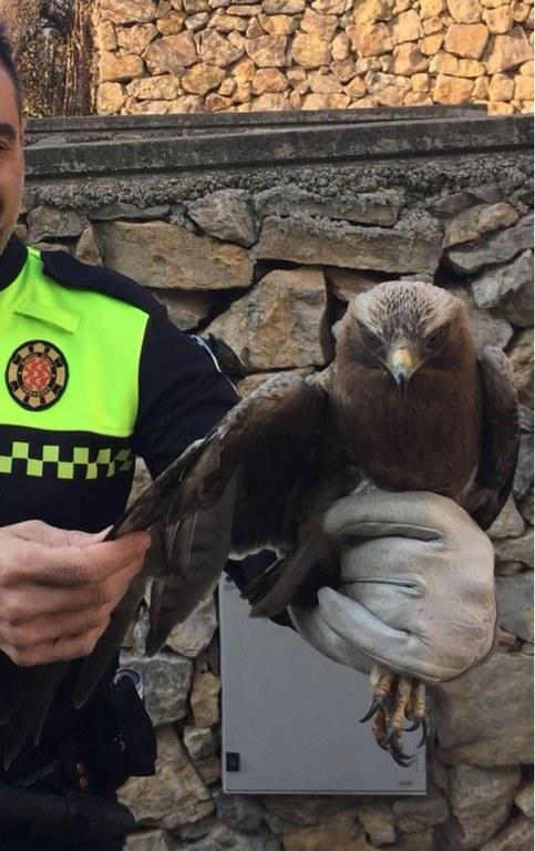 Recuperació d'una àguila